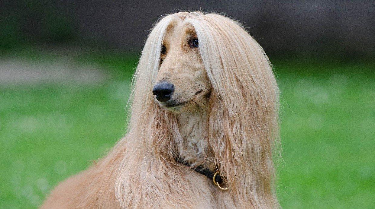 Afghaanse windhond behoort tot de 10 vlugste hondenrassen ter wereld