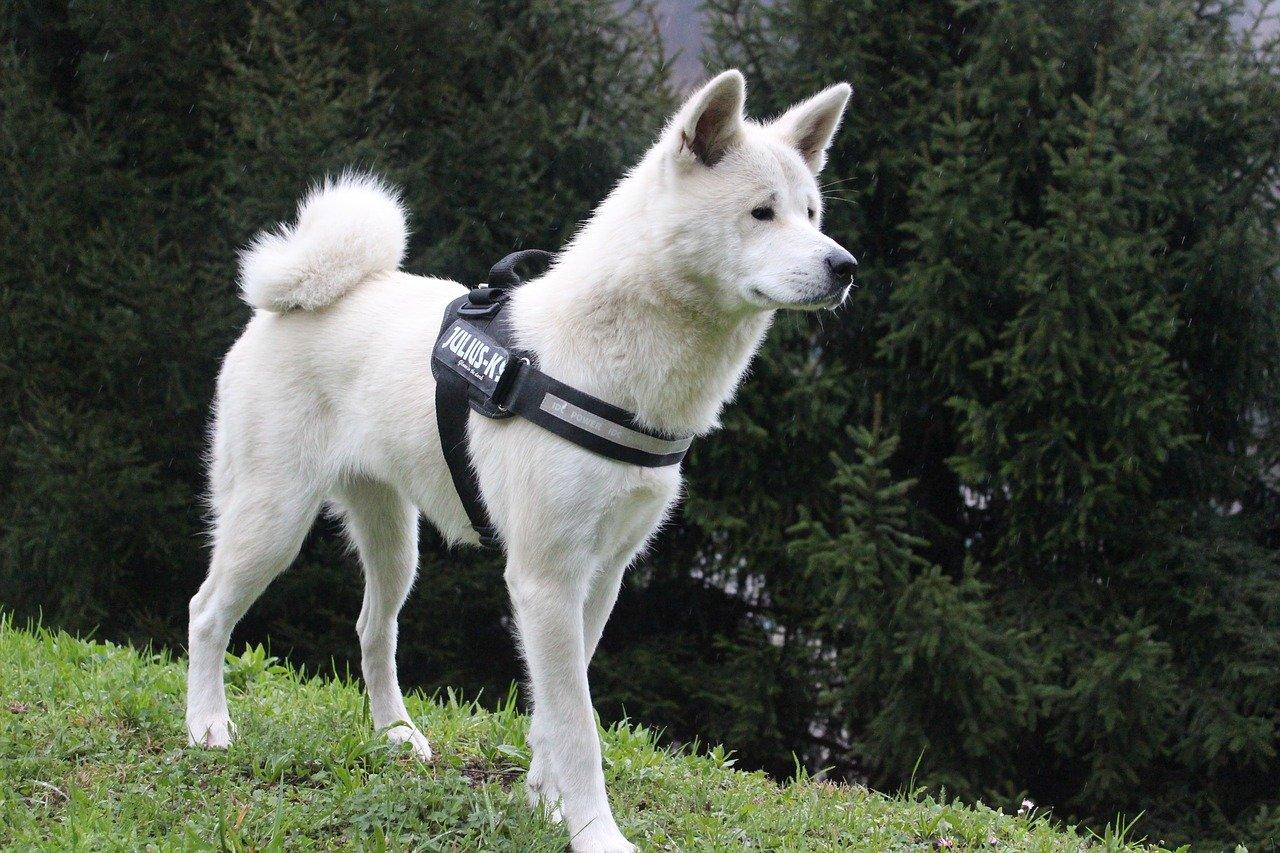 Gevaarlijke hondenrassen - Akita Inu