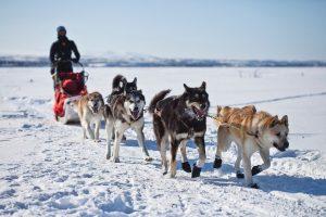 Alaska Malamute slede trekken