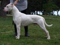 Argentijnse Dog - dogo argentino
