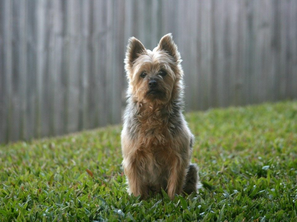 Australische Terrier