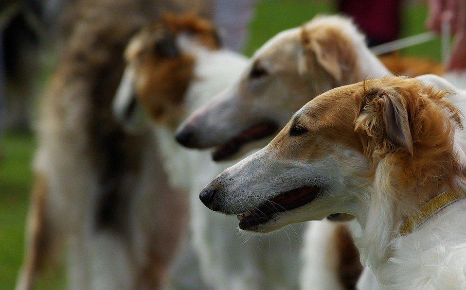 Barzoi behoort tot de 10 snelste honden ter wereld