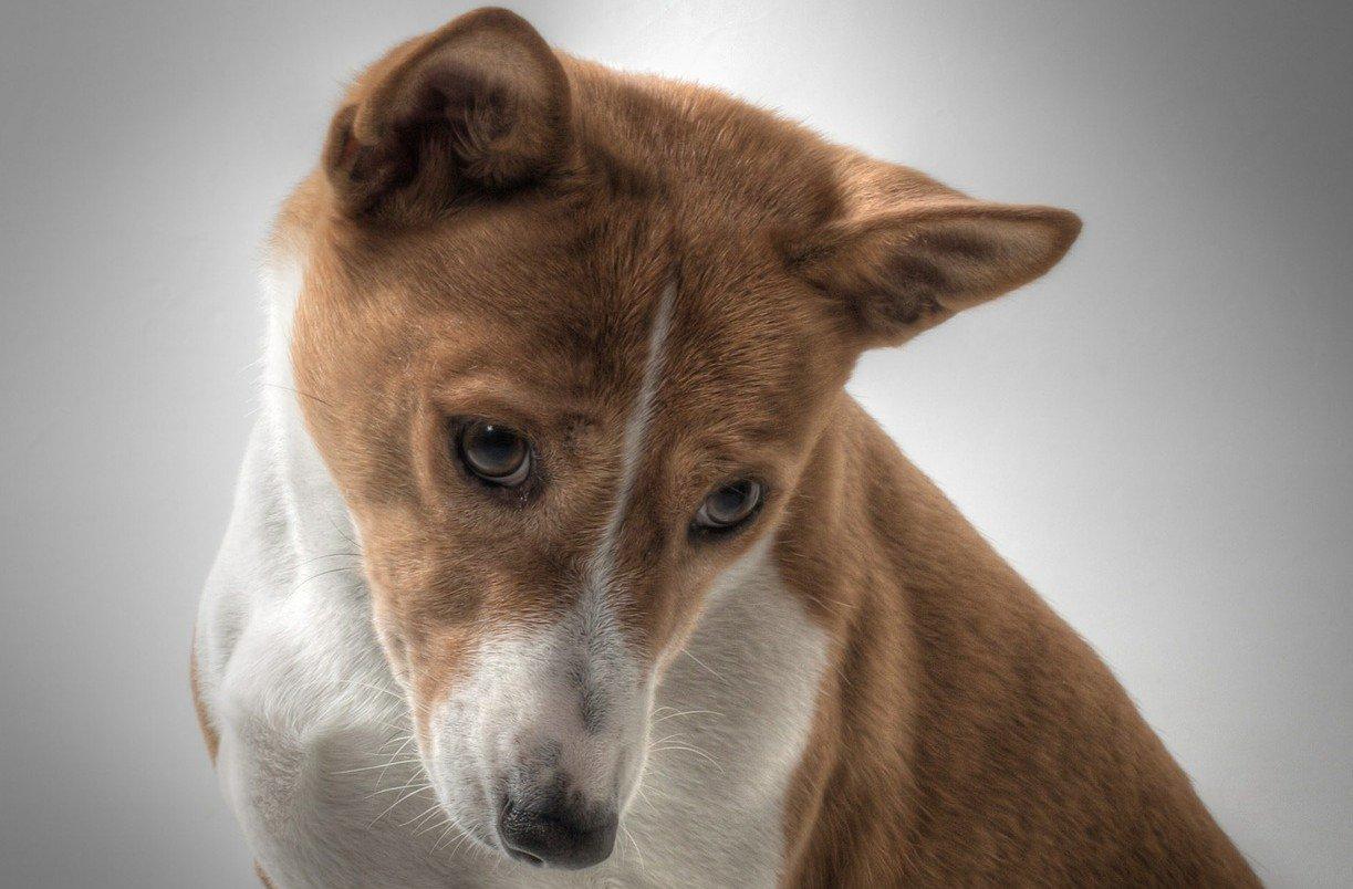 domste hondenrassen -Basenji