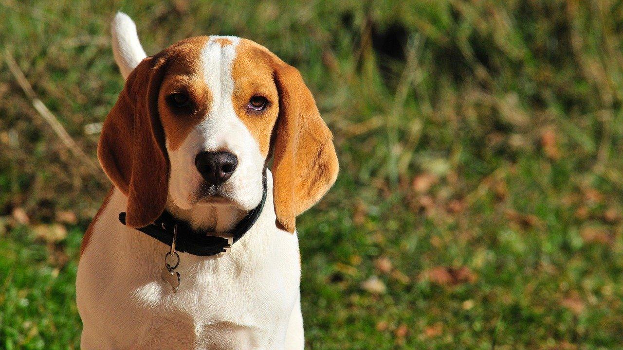 Beagle - Engelse hondenrassen