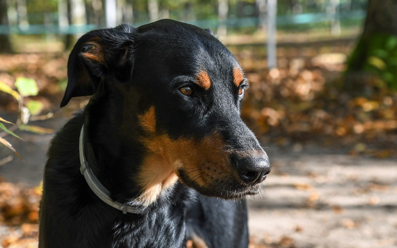 Beauceron - grote hondenrassen
