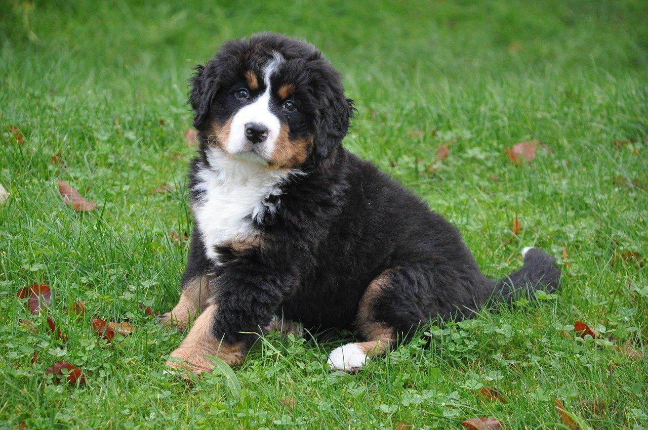 Berner Sennenhond puppy