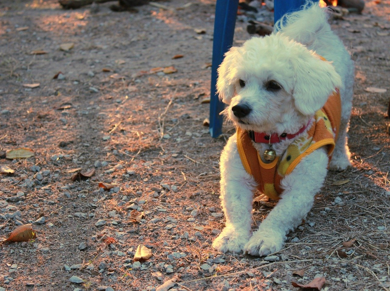 Bichon Frise puppy - Hondenrassen voor een appartement
