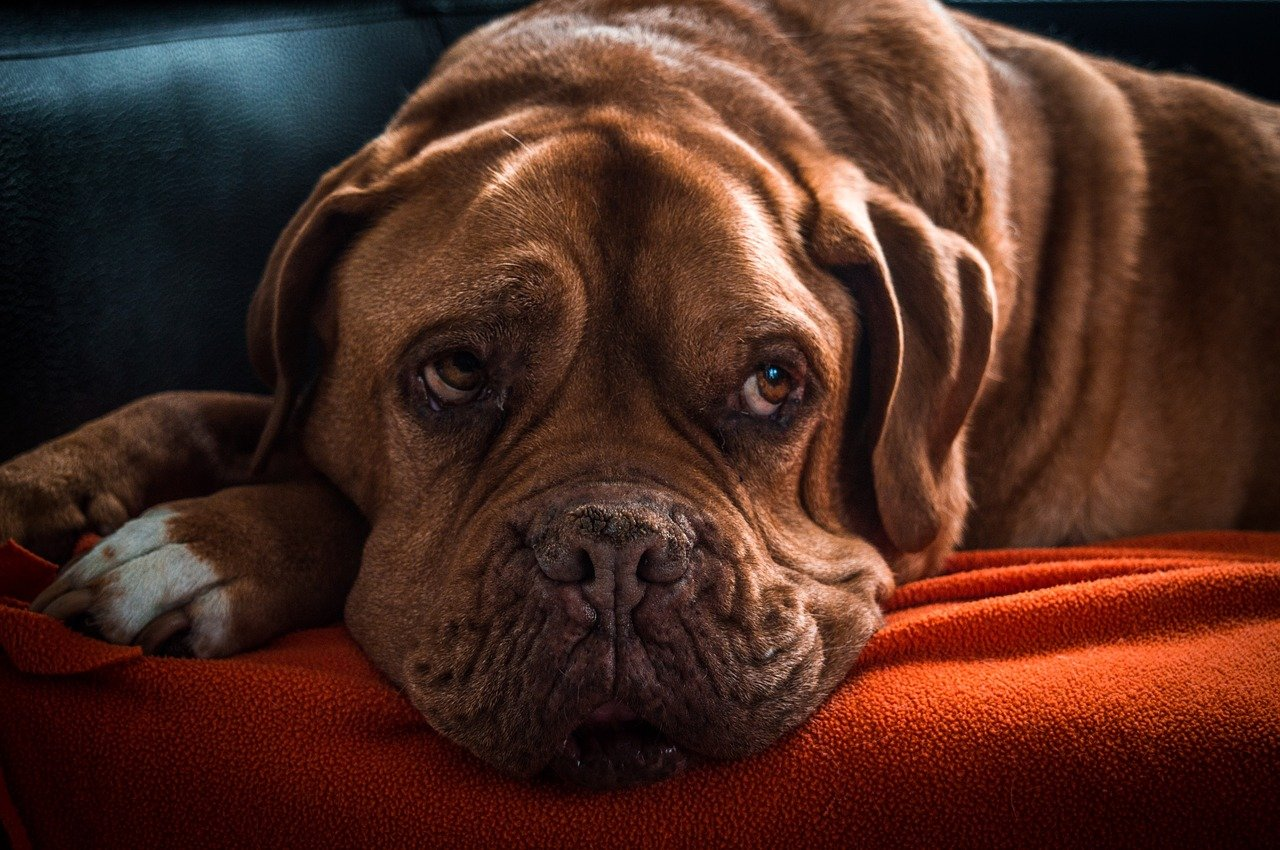 Bordeaux dog - grote hondenrassen