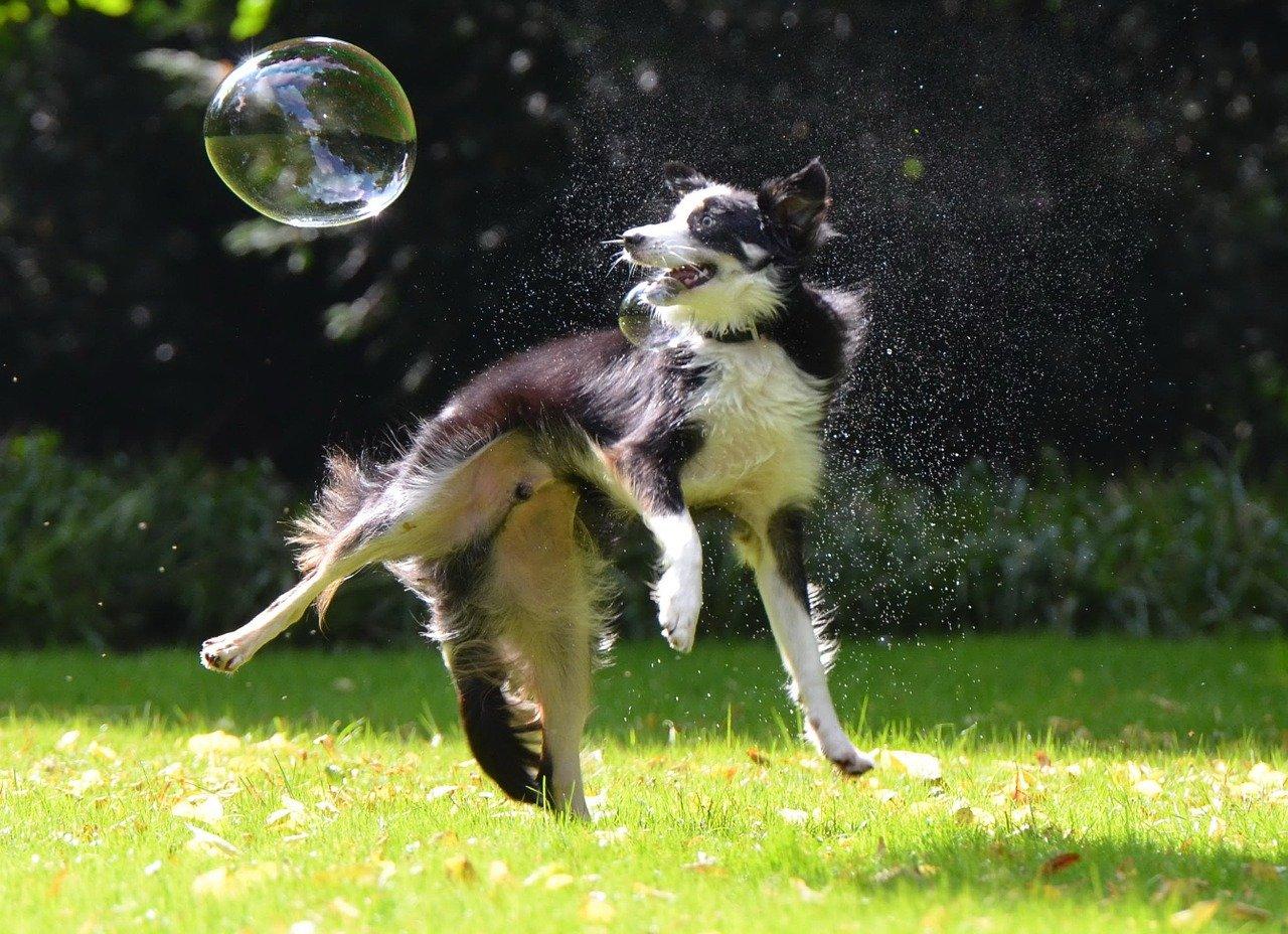 Border Collie is een Engels hondenras