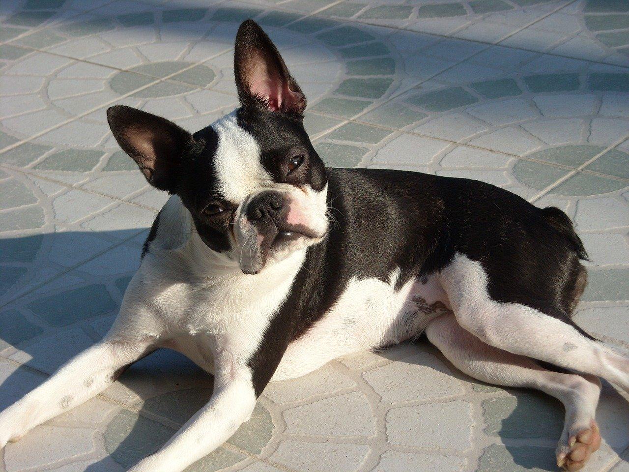 Boston Terrier - Hondenrassen voor een appartement