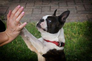 Boston Terrier - Boston Terrier1