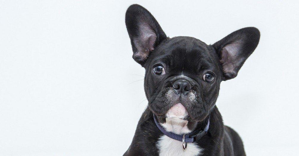 domste hondenrassen - Buldog