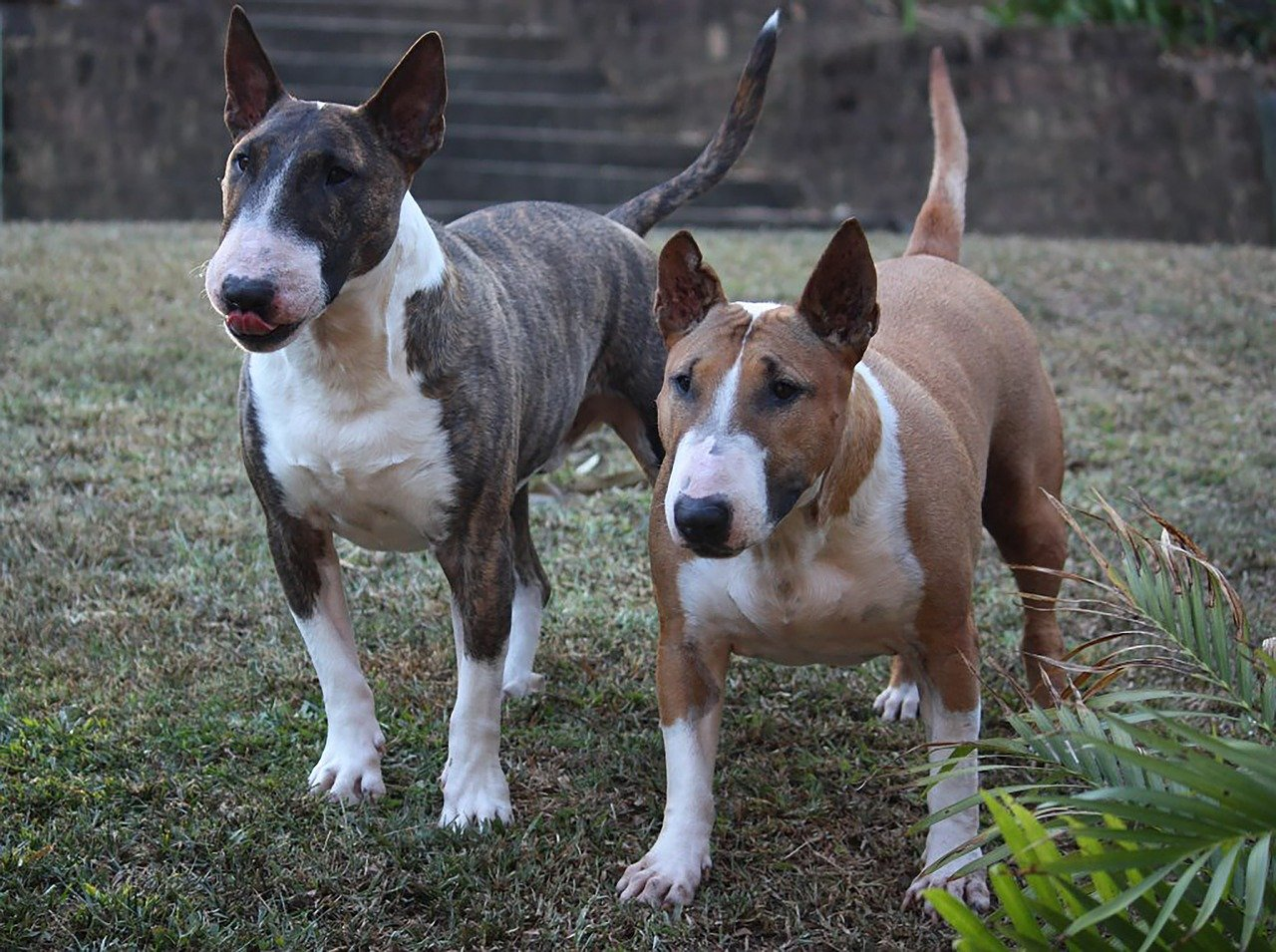 Gevaarlijke hondenrassen - Bull Terrier miniatuur