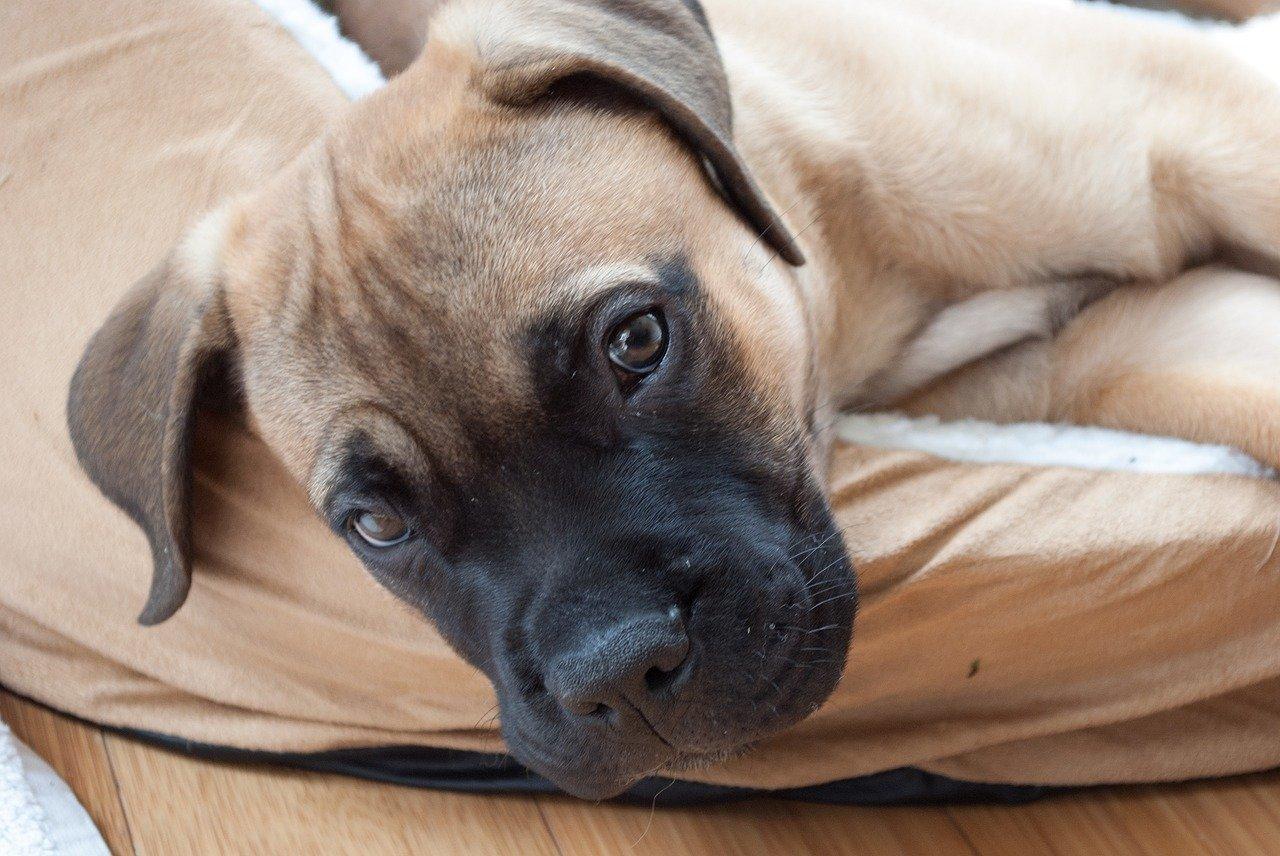 Gevaarlijke hondenrassen - Bullmastiff puppy