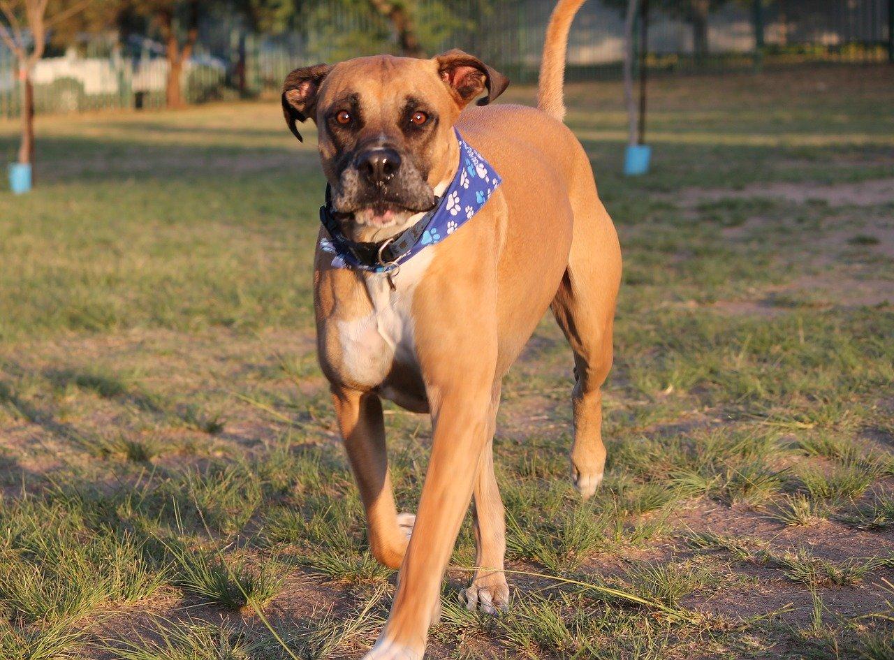 Bullmastiff - grote honden