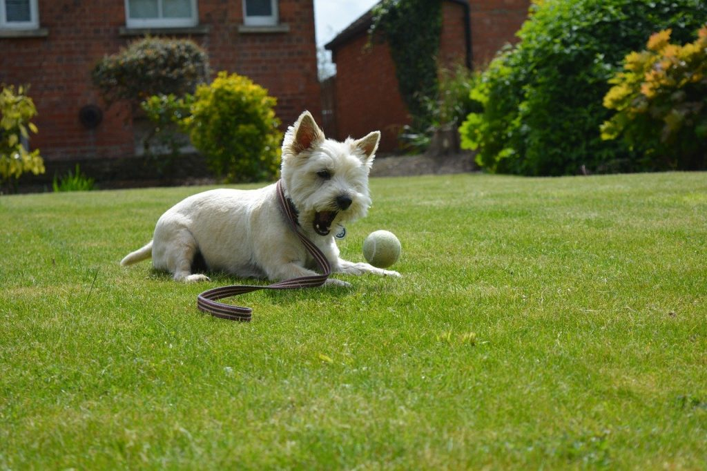 Cairn terrier bal