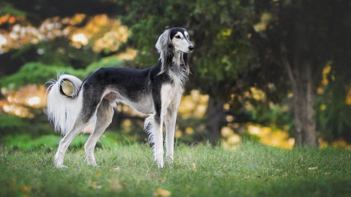 De 10 snelste honden ter wereld