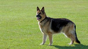 Duitse Herder hond