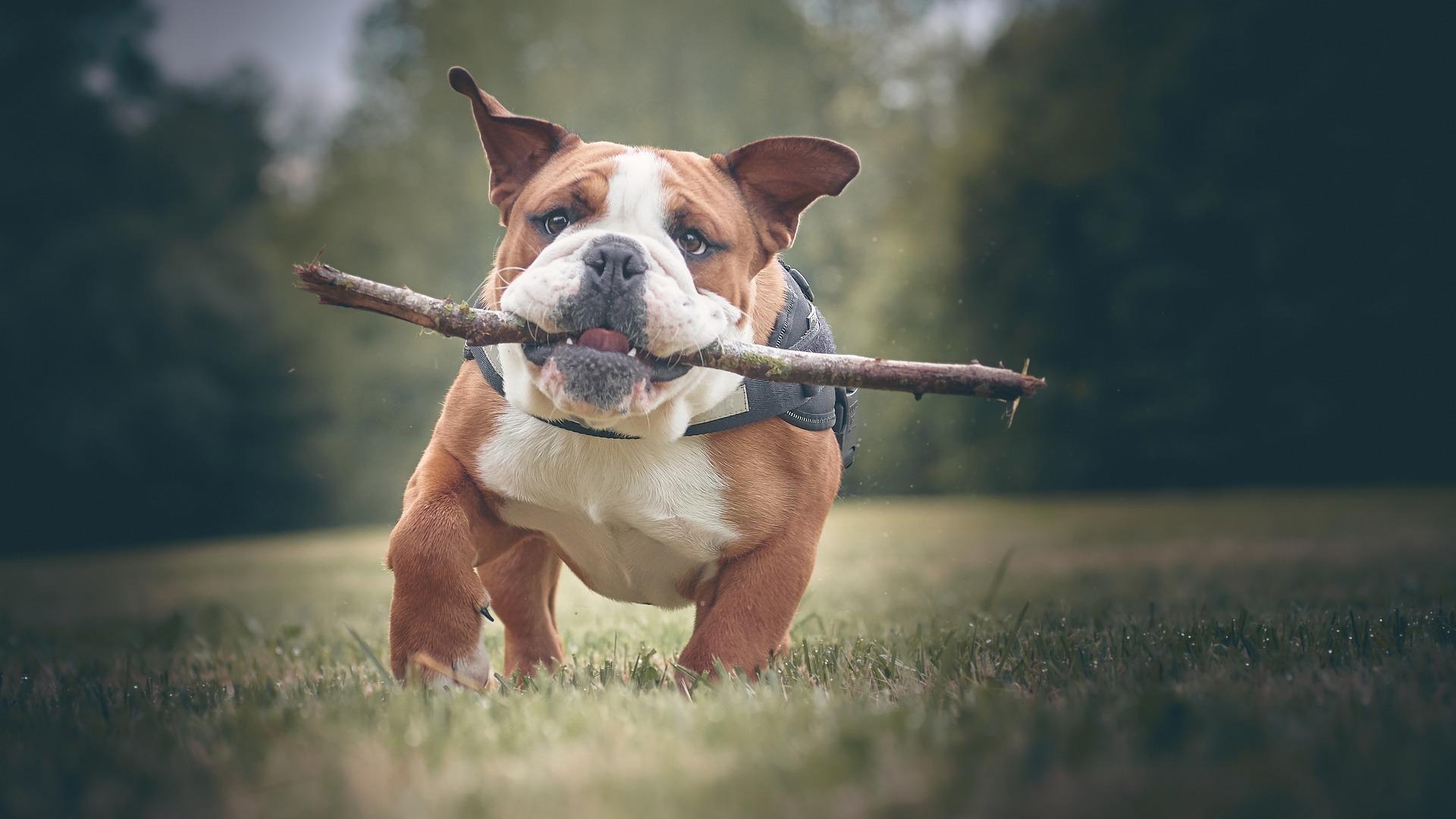 Engelse Buldog - Engelse hondenrassen