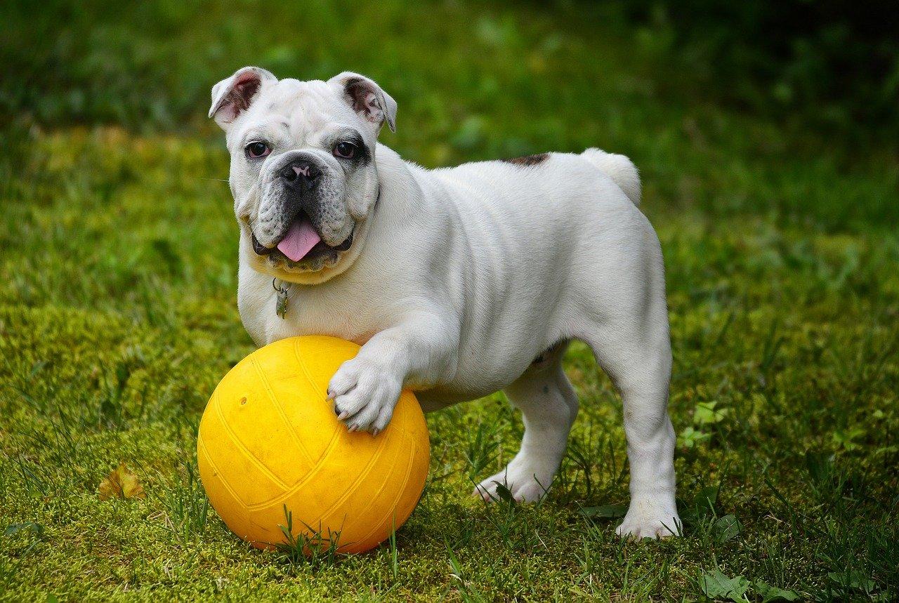 Engelse Bulldog - Hondenrassen voor een appartement