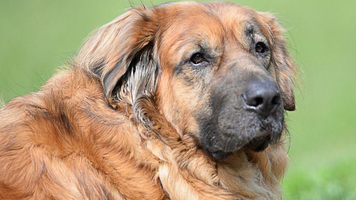 Estrela Mountain Dogs