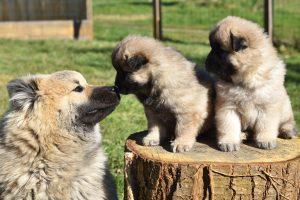 Eurasier met puppy - Eurasier met puppy
