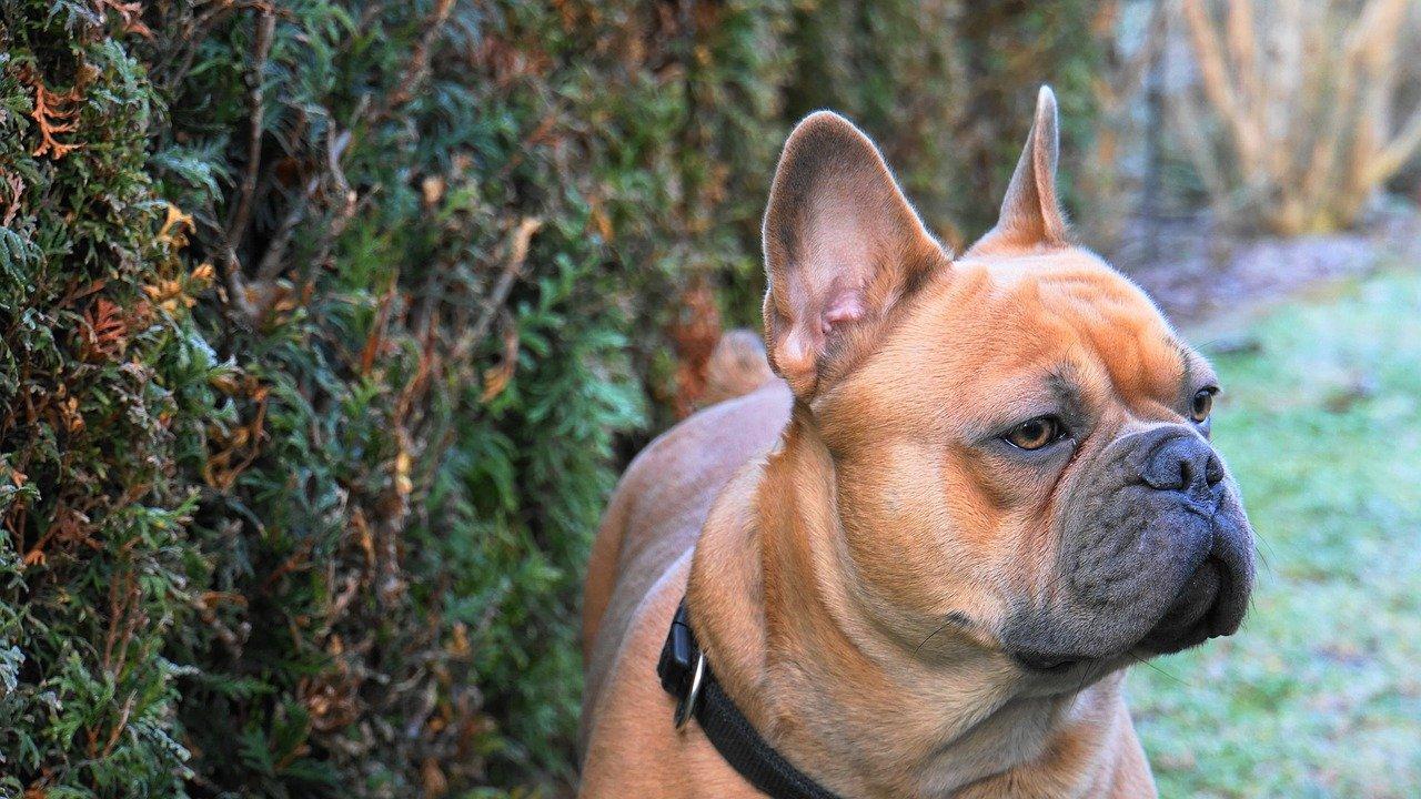 Franse Buldog is een Engels hondenras