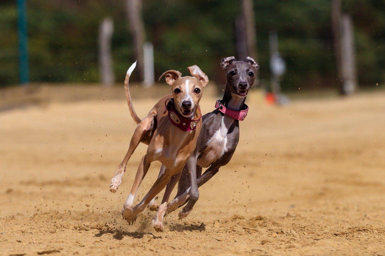Greyhound koers