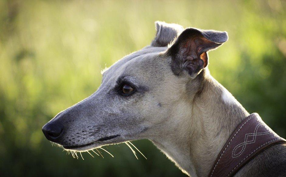 Greyhound behoort tot de 10 snelste honden ter wereld