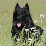 Lijst van Belgische hondenrassen