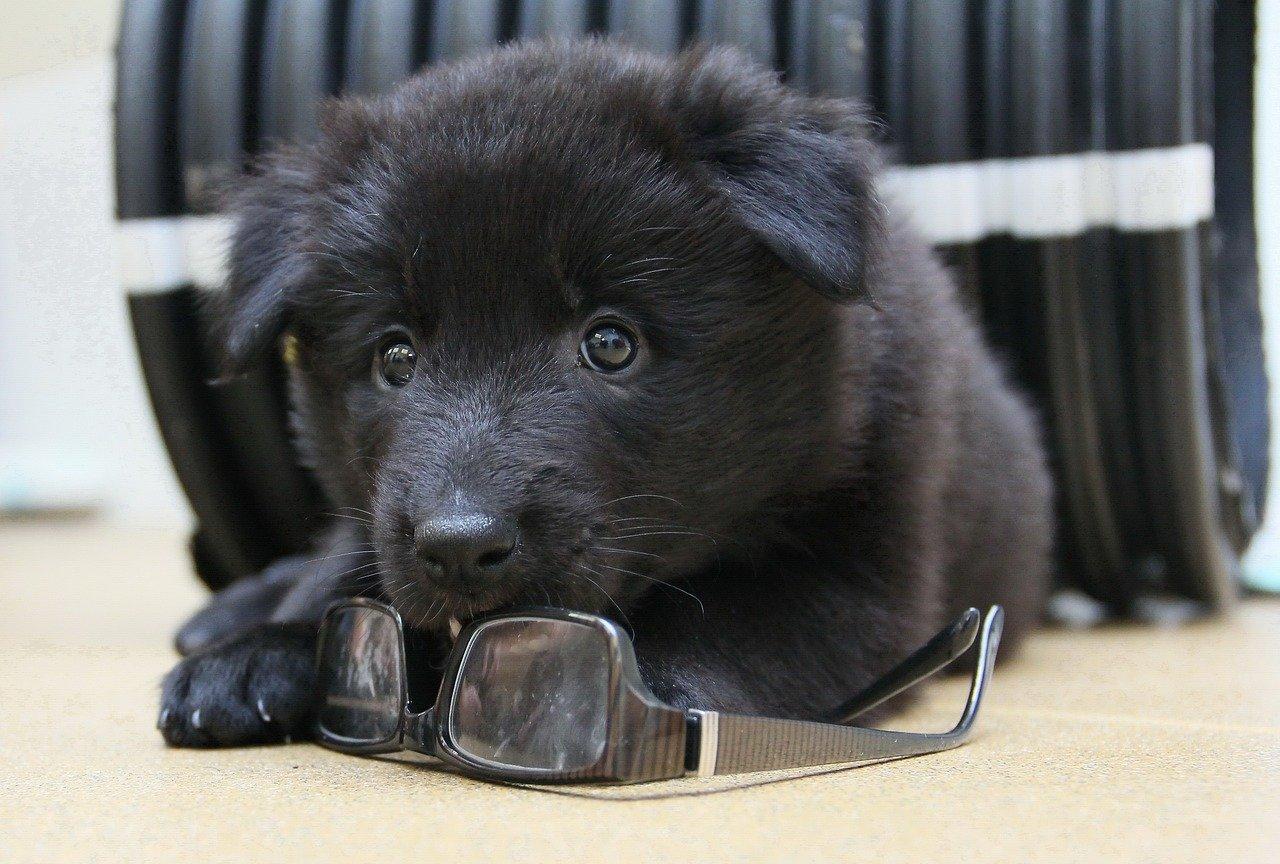 Groenendaeler puppy