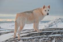 Groenlandse hond
