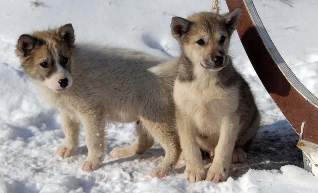 Groenlandse hond puppies