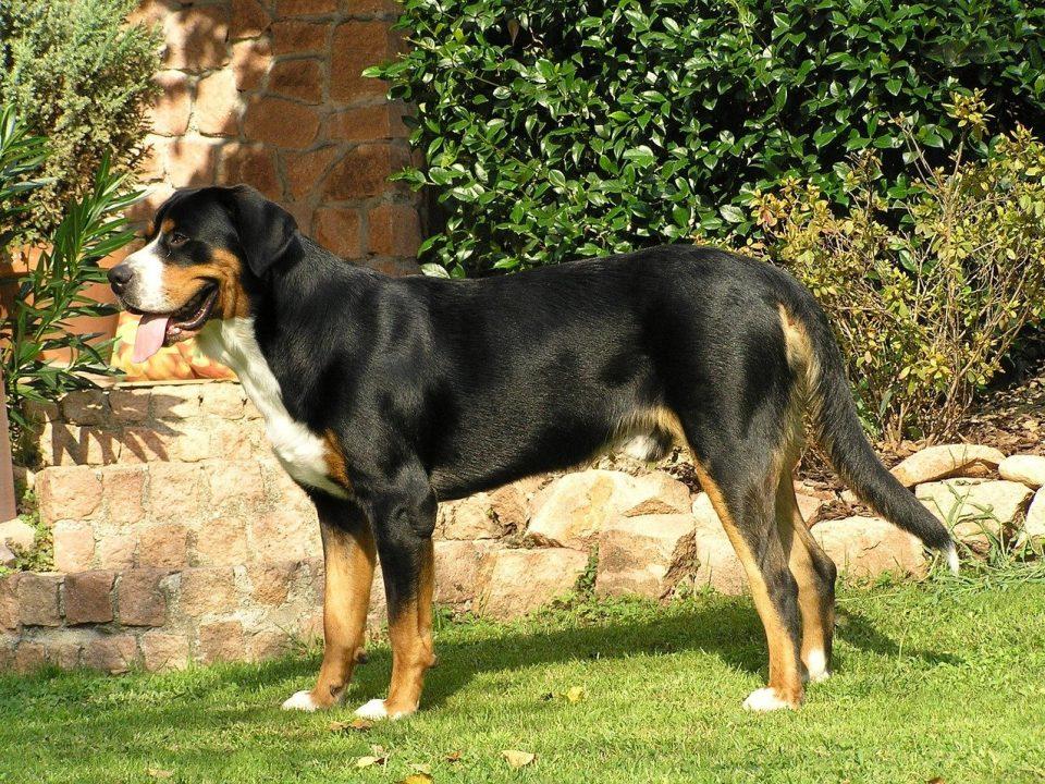 Grote Zwitserse Sennenhond