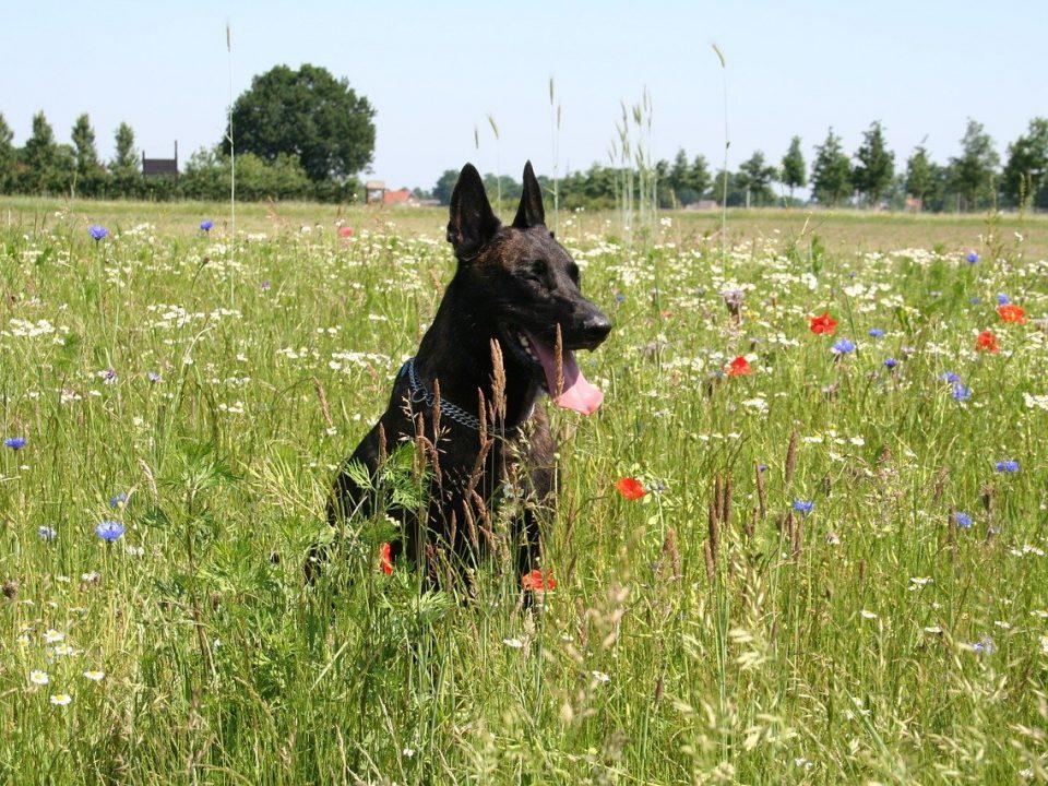 Hollandse Herdershond