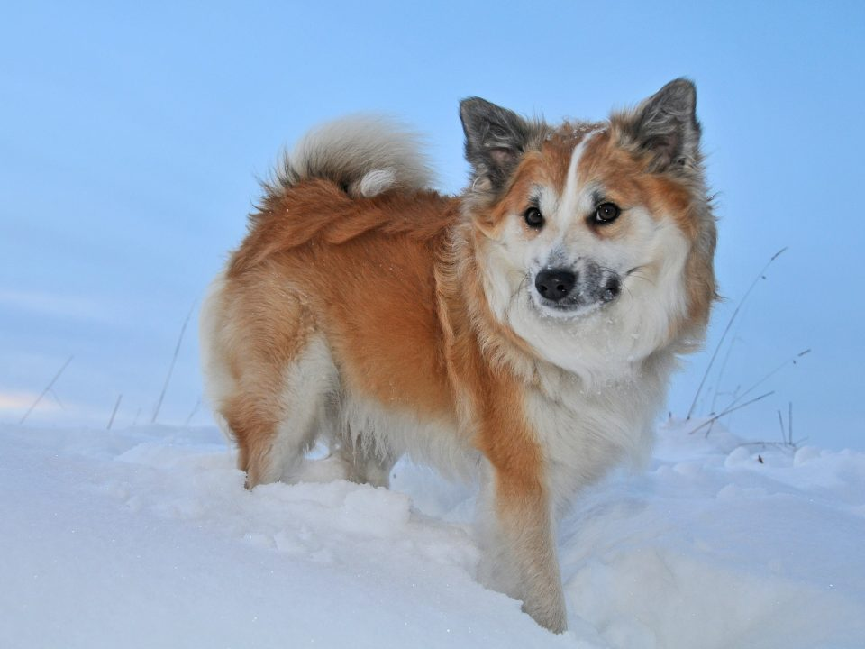 IJslandse hond