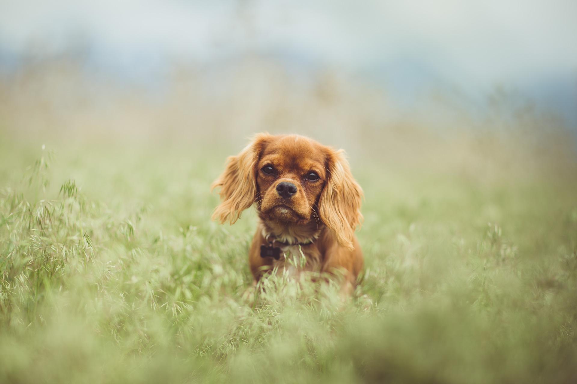 King Charles Spaniel - Engelse hondenrassen