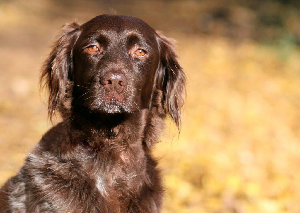 Kleine Munsterlander Vorstehhund