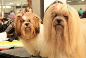 Lhasa Apso puppy - Lhasa Apso puppy