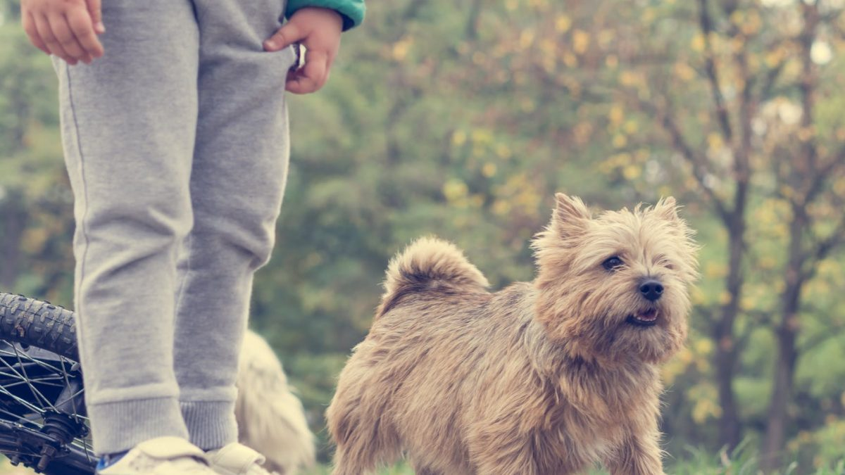 Norfolk en Norwich Terrier