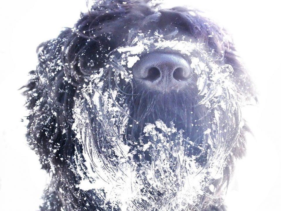 Russische Terrier
