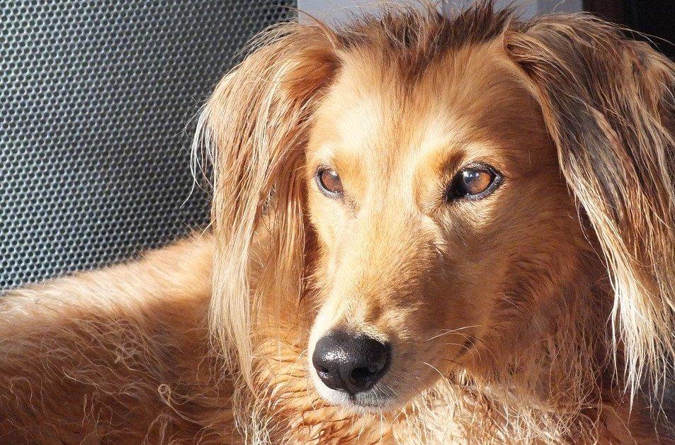 Saluki behoort tot de 10 snelste honden ter wereld