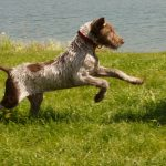 Slowaakse ruwharige staande hond