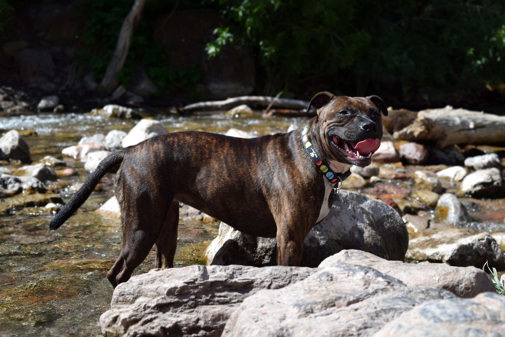 Gevaarlijke hondenrassen - Staffordshire bull terrier