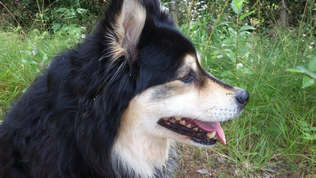 Suomenlapinkoira (Finse Lappenhond)