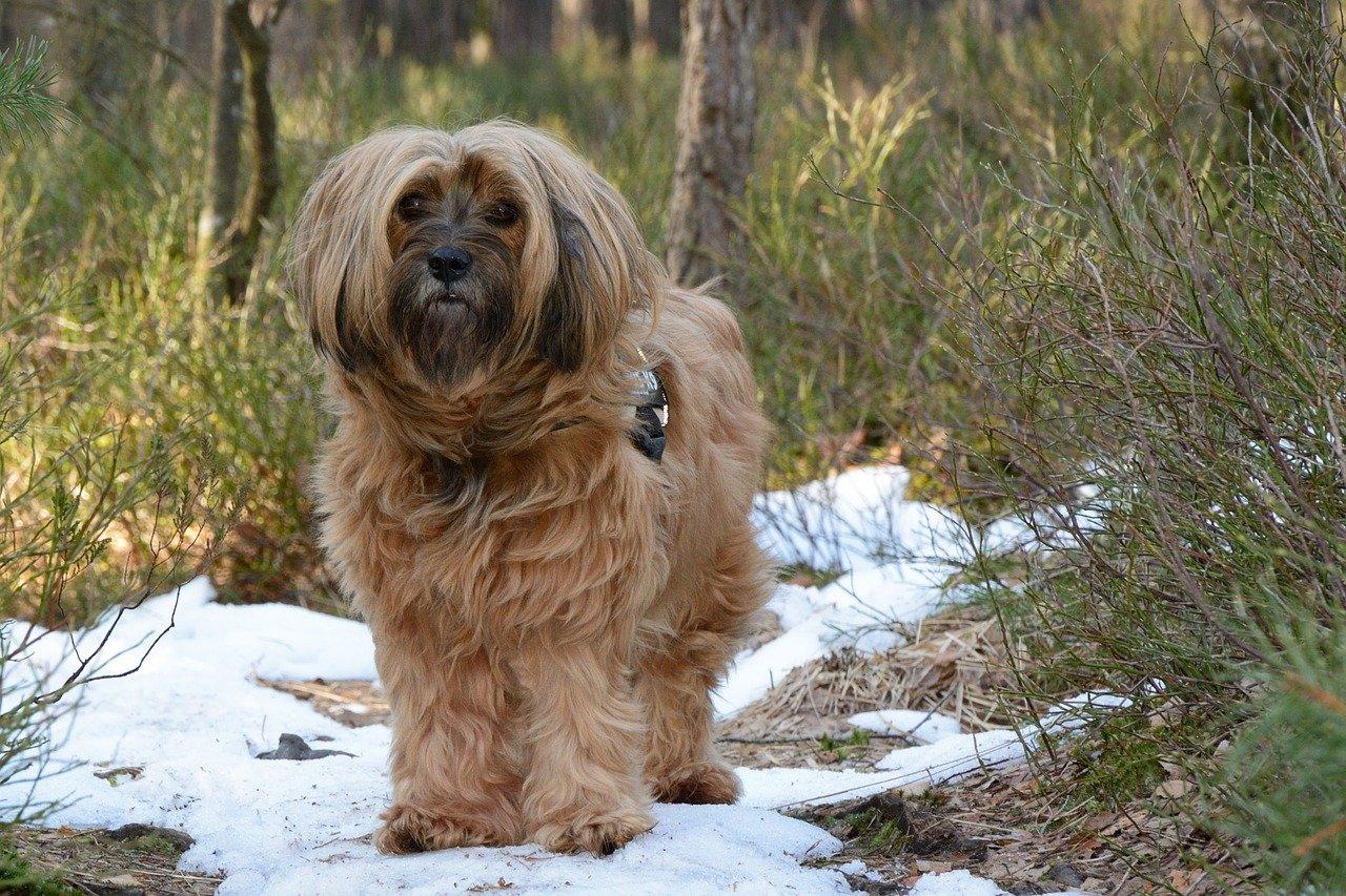 Tibetaanse Terrier bruin