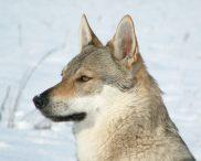 Tsjecho-Slowaakse wolfhond
