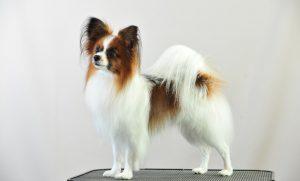 Vlinderhond en Nachtvlinderhond zijn Belgische hondenrassen