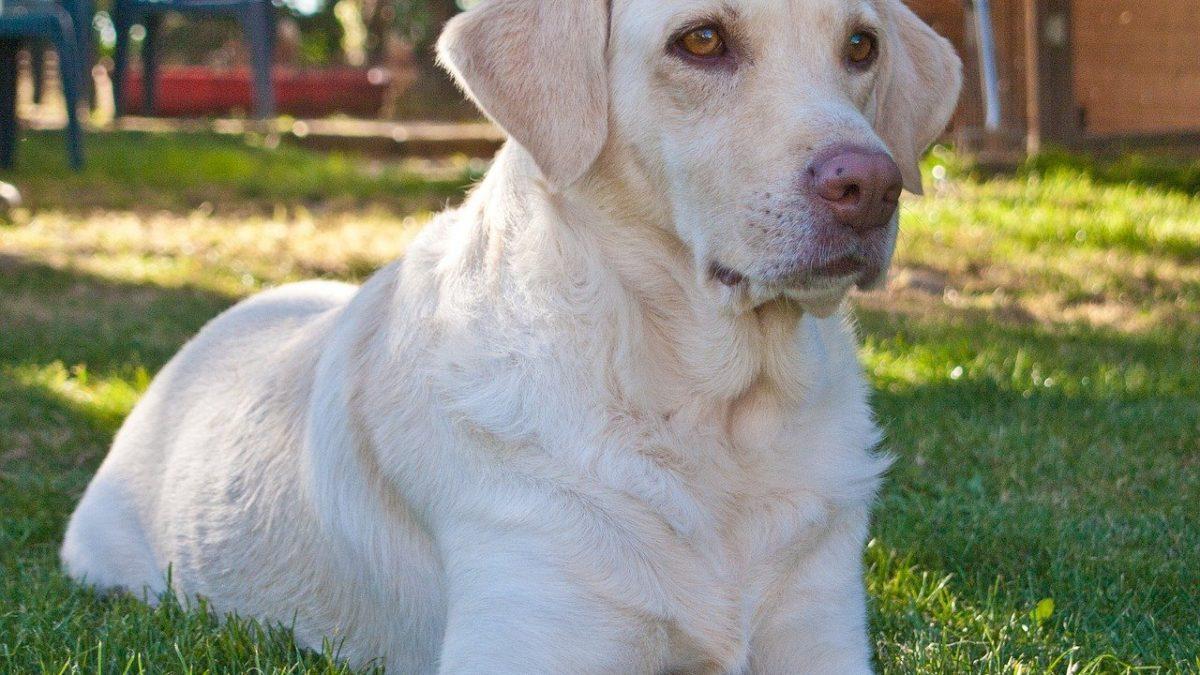 Weimaraner hond