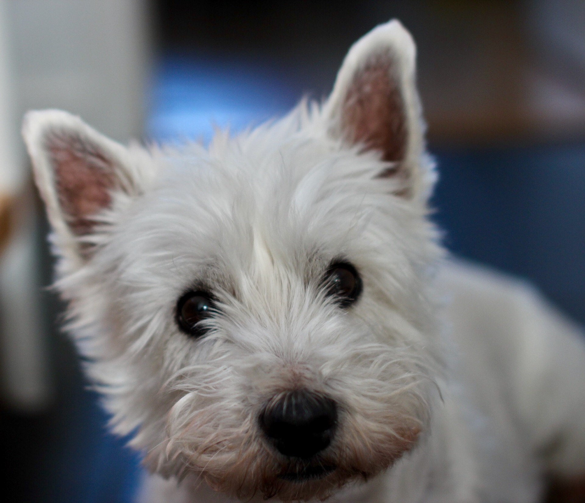 West highland white terrier bobien